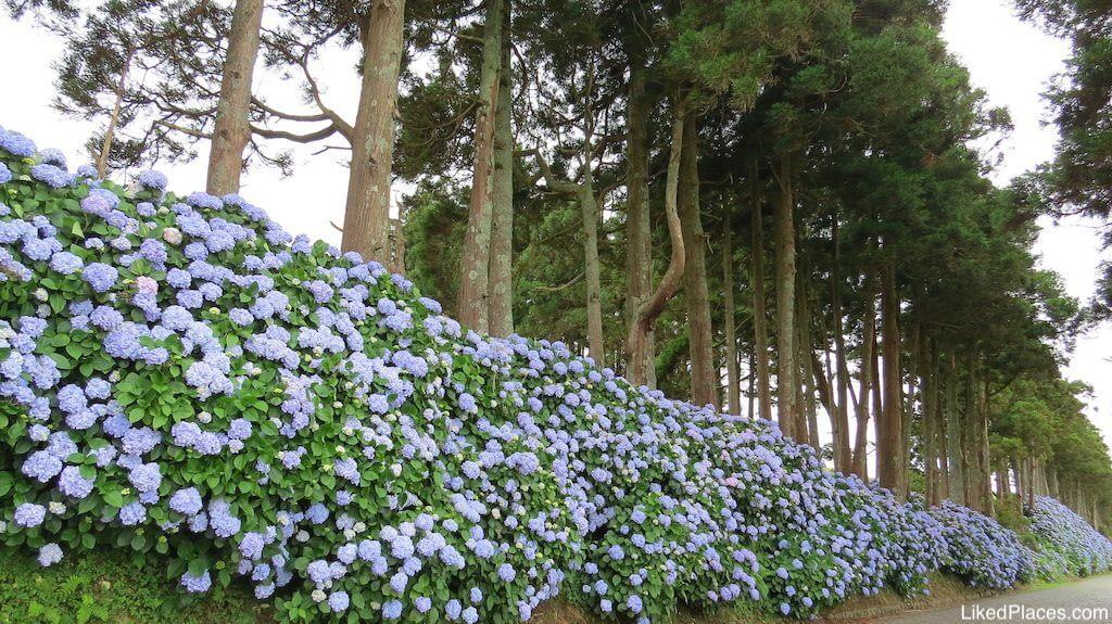 Caminho de Hortências, com árvores altas por detrás, Ilha Terceira, Açores, Azores, Island