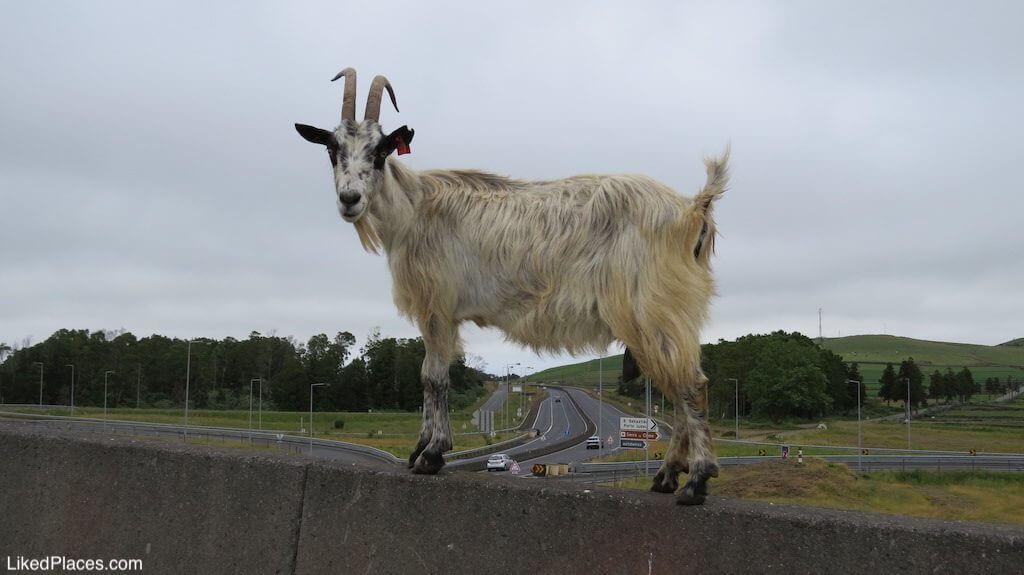 Cabra empoleirada num separador de betão de estrada, ao fundo cruzamento viário com tabuletas indicarias
