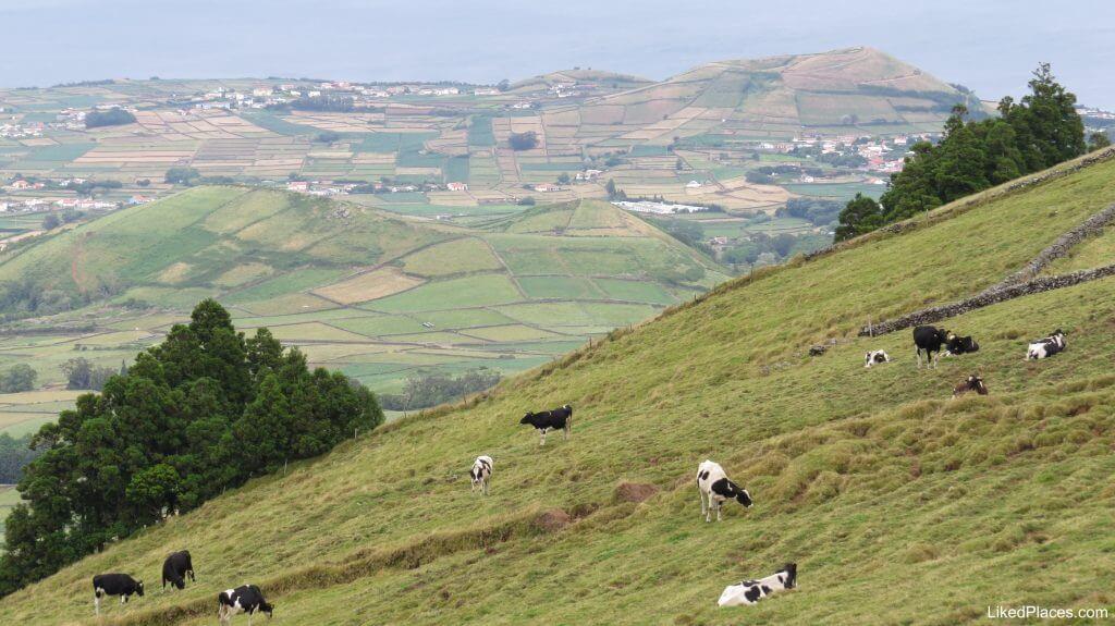 Vacas a pastar na Serra do Cume, Terceira Islands, Grazing cows