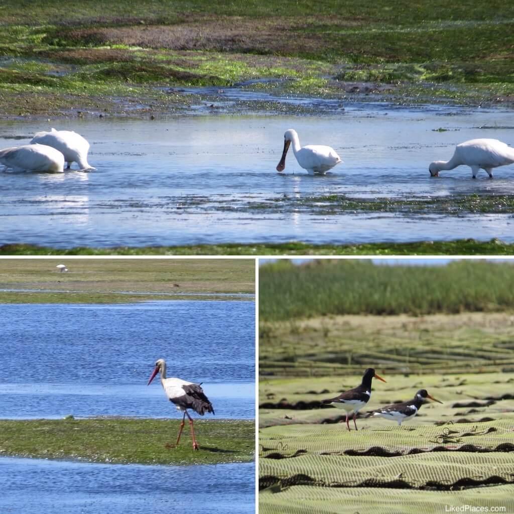 Aves (Colhereiros, Cegonha-branca e Ostraceiros) na Ria Formosa