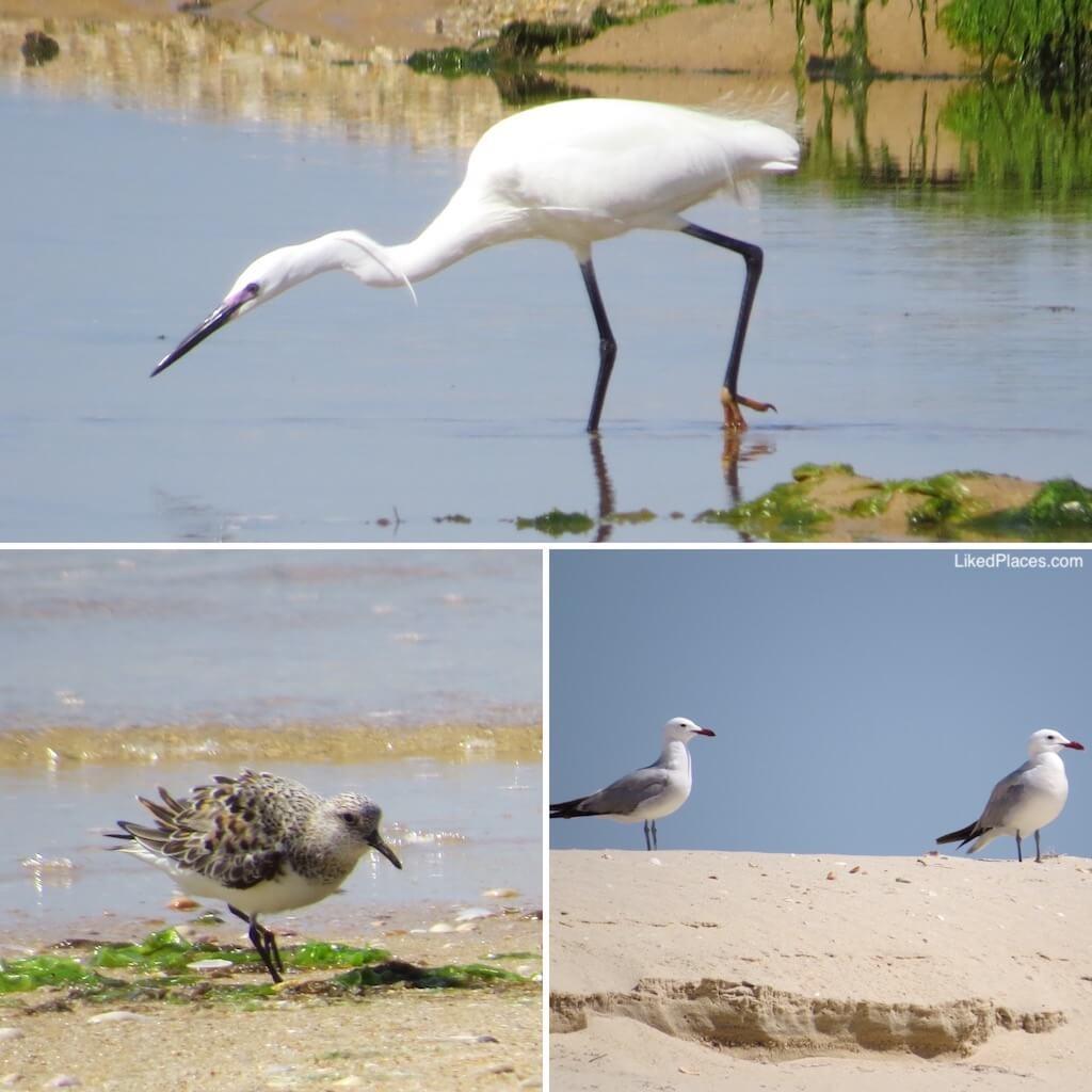 Aves na Ria Formosa Garça Branca, Pilrito comum e Gaivotas