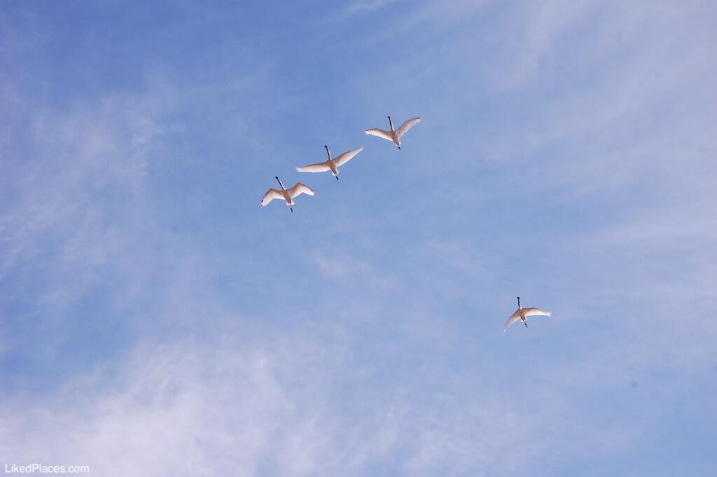 Flamingos a voar na Reserva Natural do Sapal de Castro Marim e VRSA