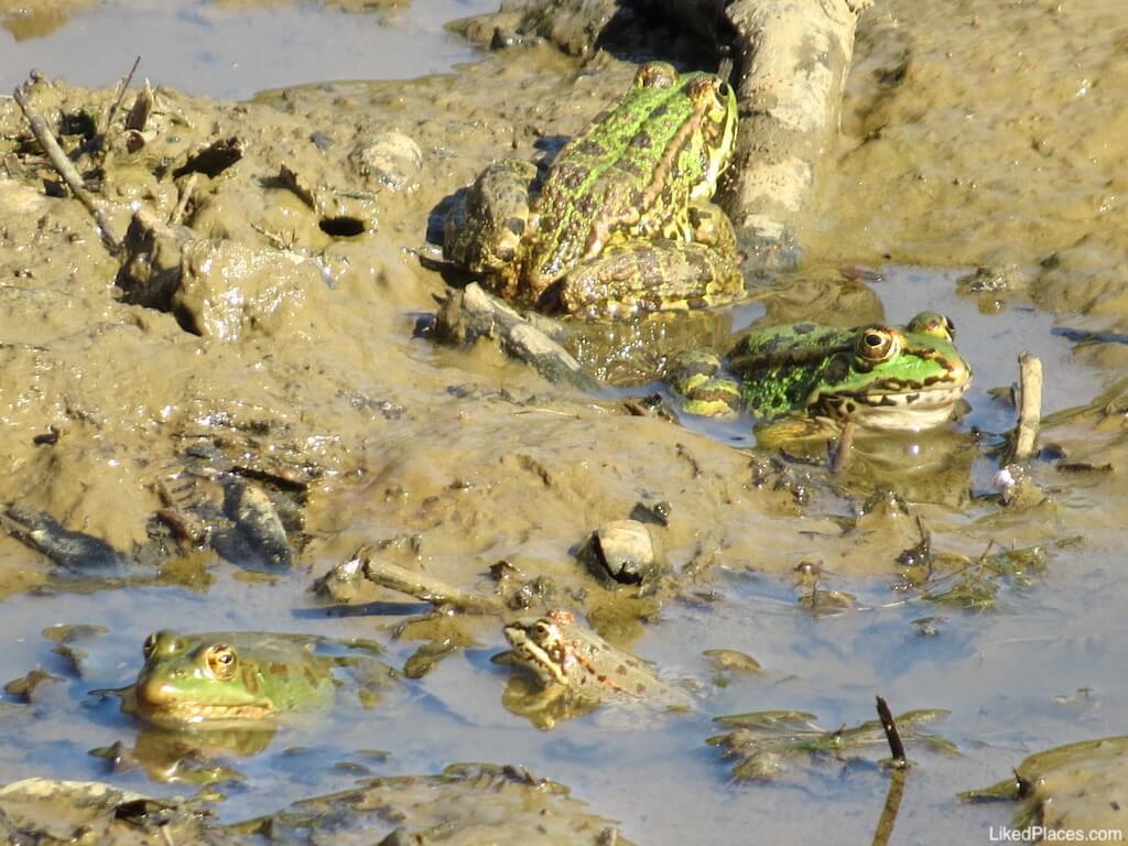 anfibios na Tapada de Mafra - rãs-verdes