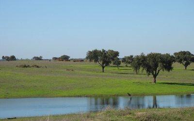 Alentejo Campo verdejante com lagoa, sobreiros e vacas