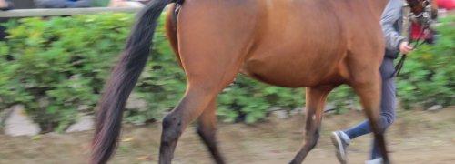 Feira da Golegã, cavalo vermelho em movimento